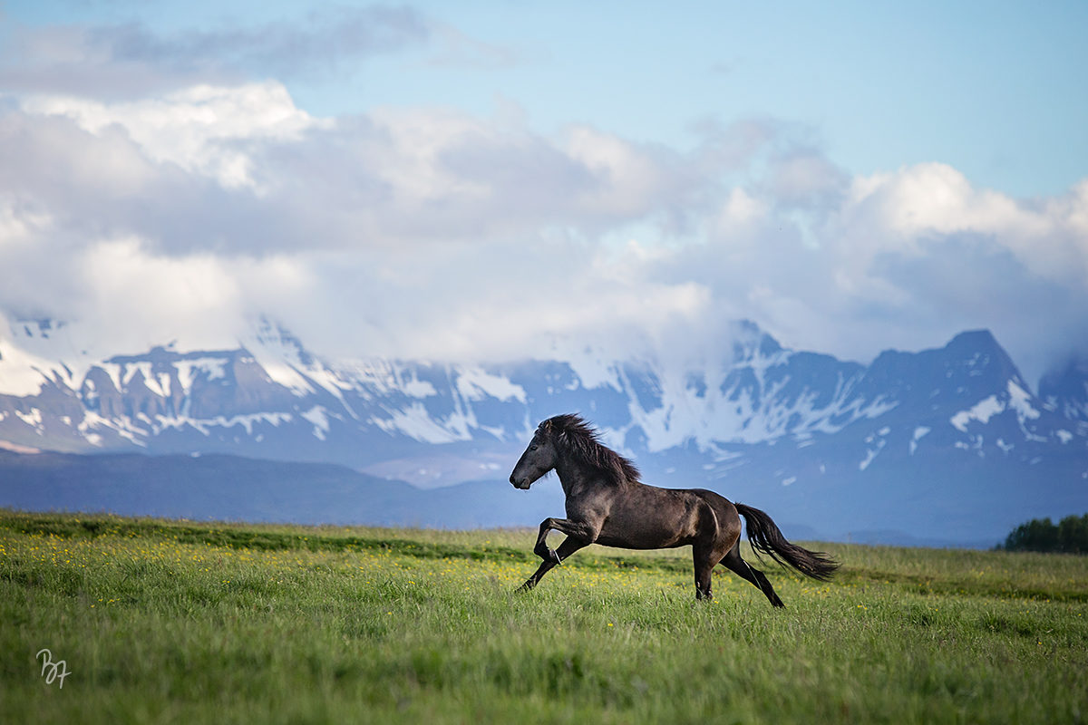 Island Jungstute Galopp Weide Bergpanorama