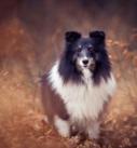 Hundefotografie bei München: Sheltie im Herbstwald
