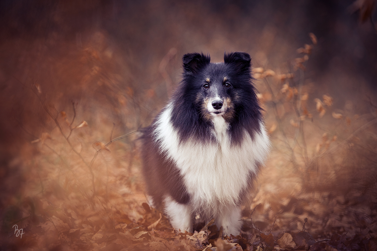 FineArt-Kollektion Sheltie