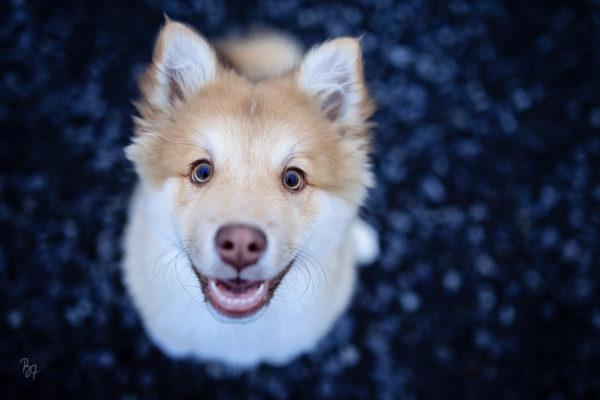 hundefotografie-islandhund-welpe-1