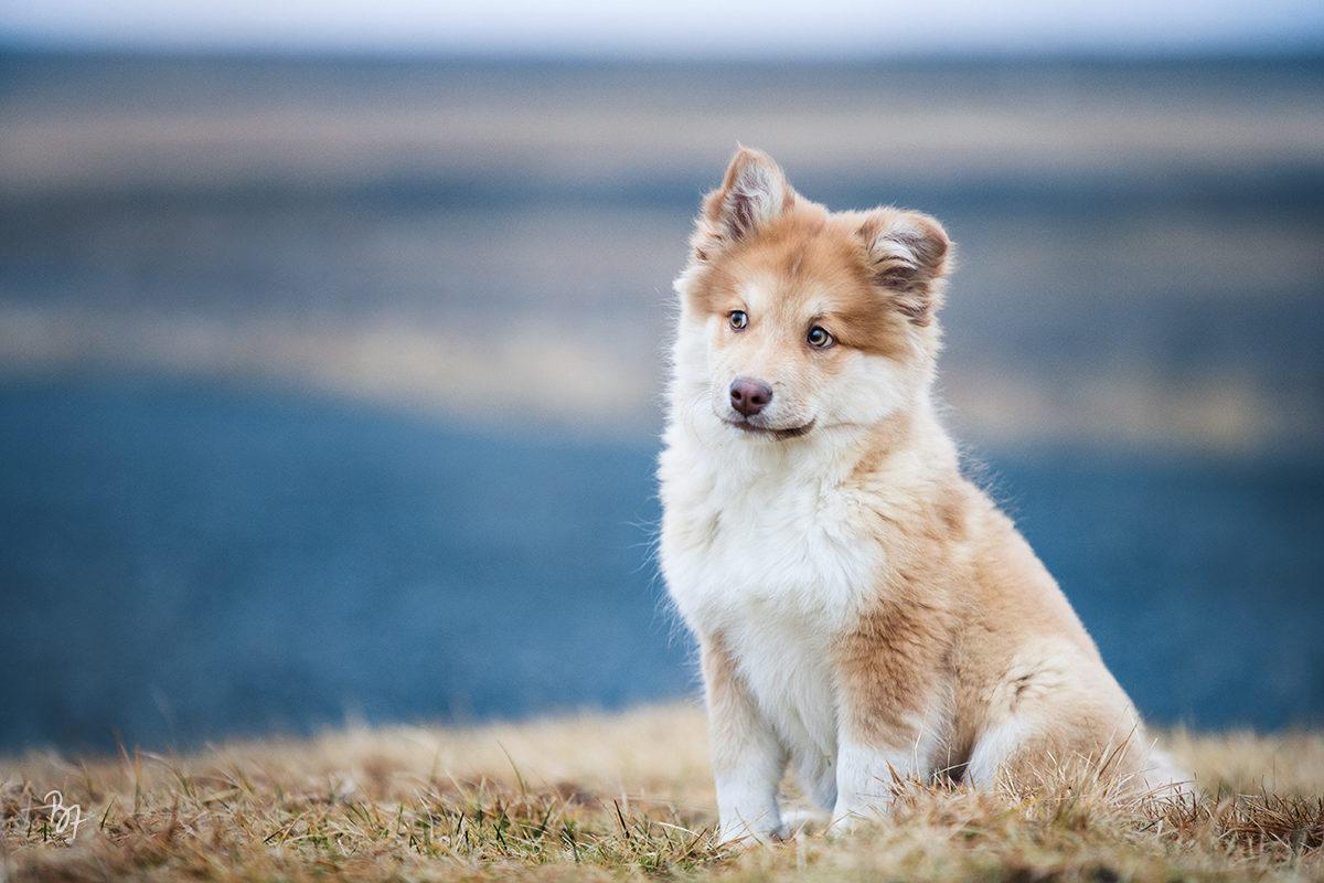 Hunde-Fotoshooting Islandhund-Welpe