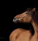 Pferdefotografie bei Stuttgart: Junge Islandstute vor schwarzem Hintergrund