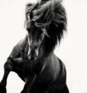 Pferdefotografie: Islandhengst Rappe in Bewegung schwarzweiß
