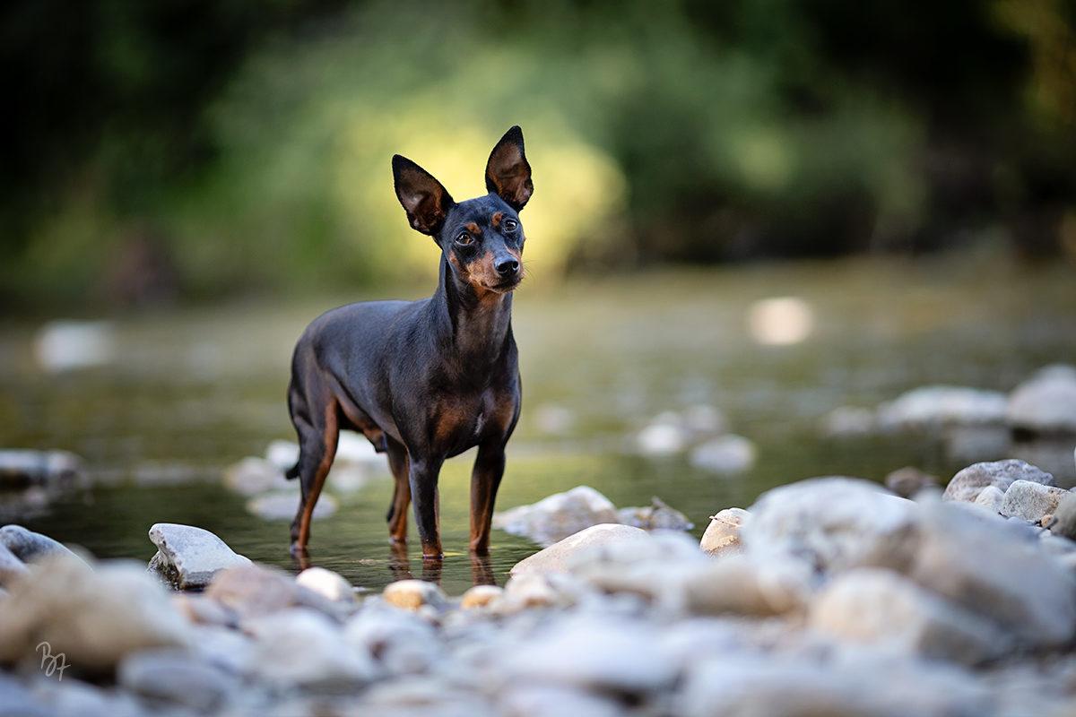Hundefotografie bei München: Rehpinscher im Wasser