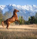 Pferdefotografie bei Garmisch: Araber vor mächtiger Bergkulisse