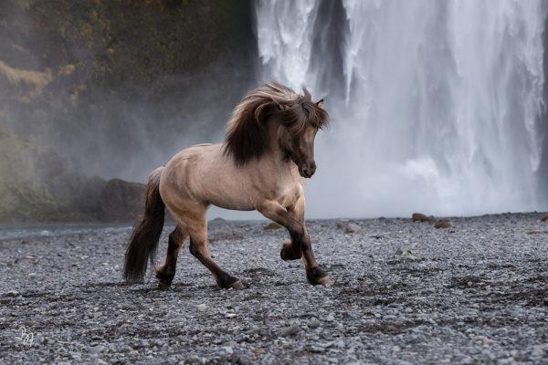 Pferdefotografie auf Island – aktuelle Fotos